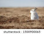 Stock photo without snow the white mountain hare on the cairngorms are exposed to photographer and more 1500900065