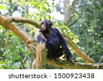 Young Chimpanzee On A Tree In...