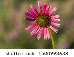 Pink Coneflower With Dew Drops