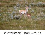 Pronghorn Antelope With Newbor...