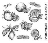 vector hand drawn lime or lemon ... | Shutterstock .eps vector #1501166015
