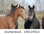 two adorable horses nuzzling...   Shutterstock . vector #150119012