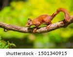 Closeup Of  A Eurasian Red...