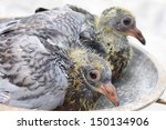 Racing Homer Pigeon Nestlings...