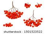 red ripe rowan berries bunches... | Shutterstock . vector #1501523522
