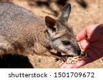Kangaroo Wallaby  Macropodidae  ...