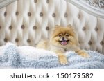 Pomeranian Lying On Bed...