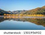 Ginkgo tree landscape at Mungyeong Reservoir in Korea