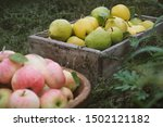 Harvesting pears and apples. Organic apples and yellow ripe pears in the garden. - stock photo