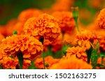 Beautiful Growing Marigold...