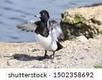 Tufted Duck Stretching It Wings
