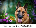 Dog Breed German Shepherd On...