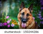 Dog Breed German Shepherd On...