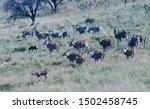 Herd Of Zebra And Eland Mixed...