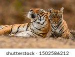 A Royal Bengal Tiger Mother  ...