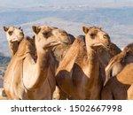 Dromedary Keepers  Camelus...