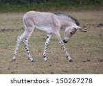 A Somali Wild Ass Foal In A...