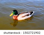 The Mallard Is A Dabbling Duck...