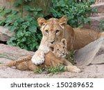 Stock photo lions 150289652