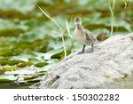 American Wigeon (Anas americana) duckling standing on a rock. Montreal, Quebec, Canada, North America. - stock photo