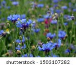 Cornflower Field As A Flower...