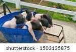 Five Piglet In A Blue Basket On ...
