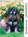 Furry Miniature Schnauzer Dog...