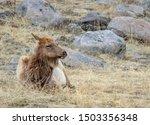 A Cow Elk Sits On The Prairie...