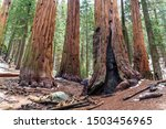 Man next to giant sequoias at Sequoia National Park, United States - stock photo