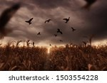 Withered Cornfield With Flying...