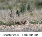 Two Burrowing Owls peek up from a burrow and look at each other on the Idaho prairie.