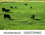 Cow Herd Eating Grass On...