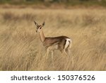 Lamb Of A Grant    S Gazelle