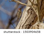 Ladder Backed Woodpecker  Latin ...