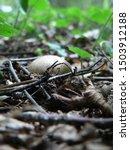 Forest Floor   Lycoperdon ...