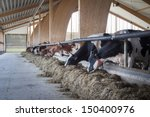 Cows Eating In A Modern Barn