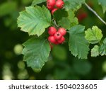 Small photo of Crataegus intricata is a species of hawthorn known by the common names Copenhagen hawthorn, Lange's thorn and thicket hawthorn. Hanover District, Germany