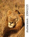 lion in sabi sands reserve ... | Shutterstock . vector #15041215