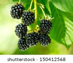 Fresh Blackberries In A Garden
