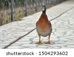An Important Goose Is Walking...