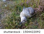 Stock photo dead young larus argentatus european herring sea gull bird lying on side between grass 1504422092