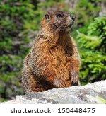 yellow-bellied  marmot in colorado       - stock photo