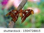 Atlas Moth Wings Open Standing...