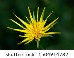 Tragopogon Pratensis Or Jack G...