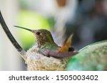 Hummingbird Sitting In Its Nest
