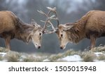 Close Up Of Red Deer Stags...