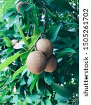 Small photo of Sapodilla tree / Sapota composes of soft, easily digestible pulp made of simple sugars like fructose and sucrose