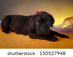 black cane corso puppies  folds ... | Shutterstock . vector #150527948