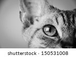 Stock photo curly cat devon rex fawn 150531008