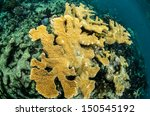 Small photo of Caribbean reef scenics. Acropora palmata.from the coral reefs of the mesoamerican barrier. Mayan Riviera, Mexican Caribbean.
